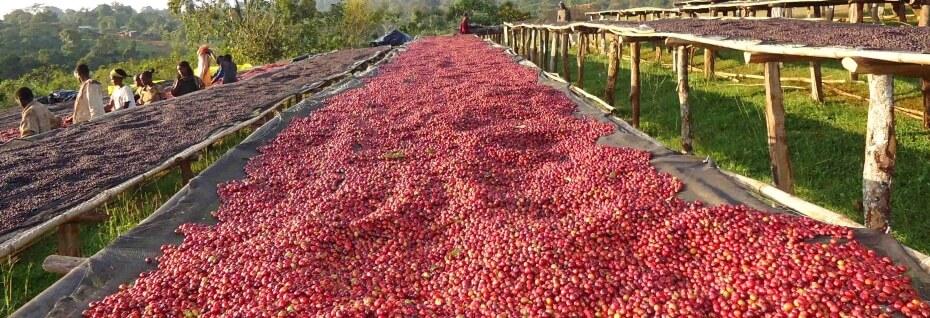 Ethiopian coffee exporter - Ethiopian coffee whole sellers